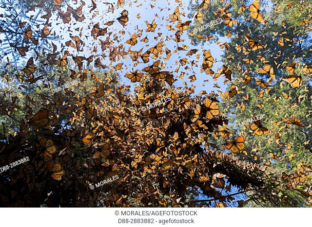 Mexico, State of Michoacan, Angangueo, Reserve of the Biosfera Monarca El Rosario, wildlife photography in the reserve for the monarch butterfly (Danaus...