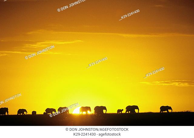 African elephant (Loxodonta africana) Silhouetted at sunrise, Maasai Mara National Reserve, Rift Valley, Kenya