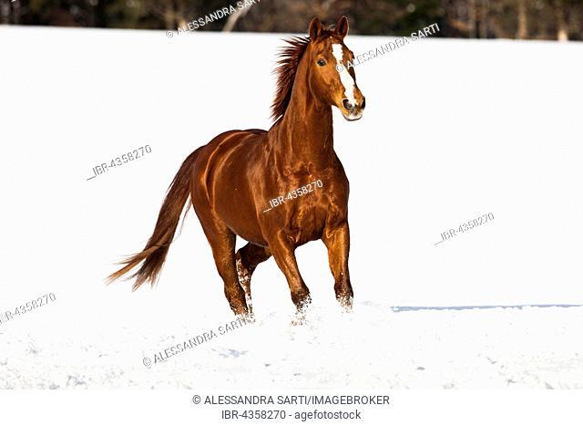 Hanoverian horse, fox, brown, reddish fur, trots in snow, Tyrol, Austria
