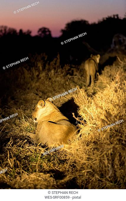 Botswana, Tuli Block, two lions at night