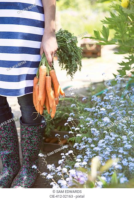 Woman holding bunch of fresh harvested carrots in garden