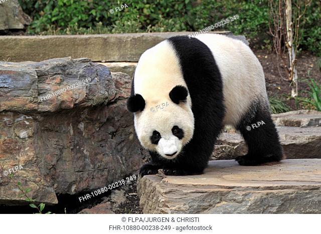 Giant Panda Ailuropoda melanoleuca adult, standing on rock, Adelaide Zoo