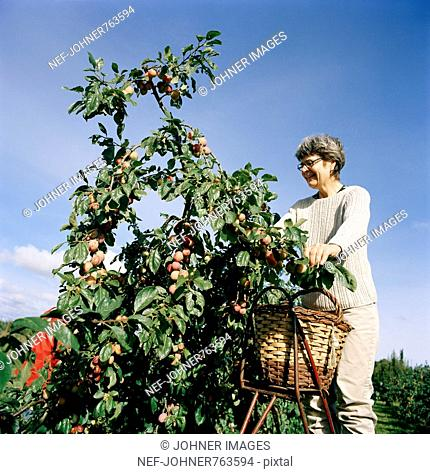 A woman harvesting fruit