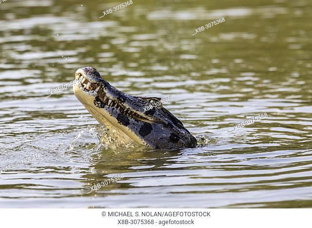 A yacare caiman, Caiman yacare, eating a piranha, Pousado Rio Claro, Brazil