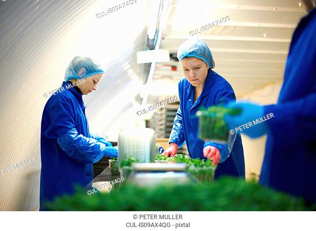 Women wearing working on production line, packing vegetables