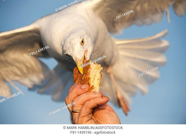 Herring gull Larus argentatus taking bread from person's hand  August 2009