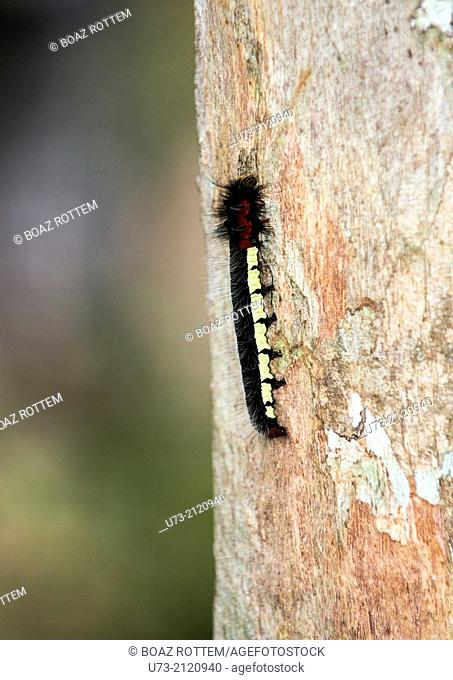 A Centipede climbing a tree in Andasibe forest in Madagascar