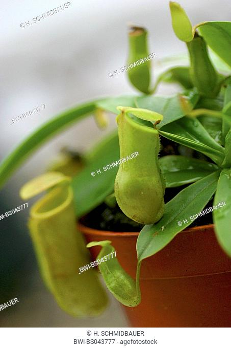 pitcher plant (Nepenthes spec.), special leaves for catching insects