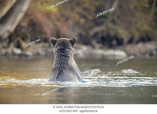 Grizzly bear (Ursus arctos)- Hunting for sockeye salmon spawning in the Chilko River, Chilcotin Wilderness, BC Interior, Canada
