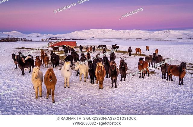 Group of Icelandic Horses looking at the camera on a farm in the Horgardulur valley in Northern Iceland. This image is shot with a drone