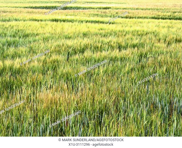 Ripening barley blowing in the breeze in a field near Pannal Harrogate North Yorkshire England