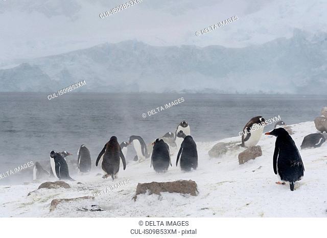 Gentoo penguins (Pygoscelis papua), Neko Harbour, Antarctica