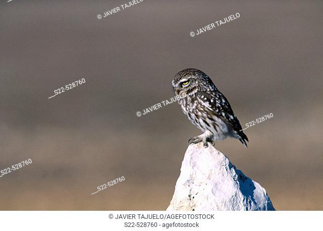 Little Owl (Athene noctua). Fuentemolinos, Burgos province, Castilla-León, Spain