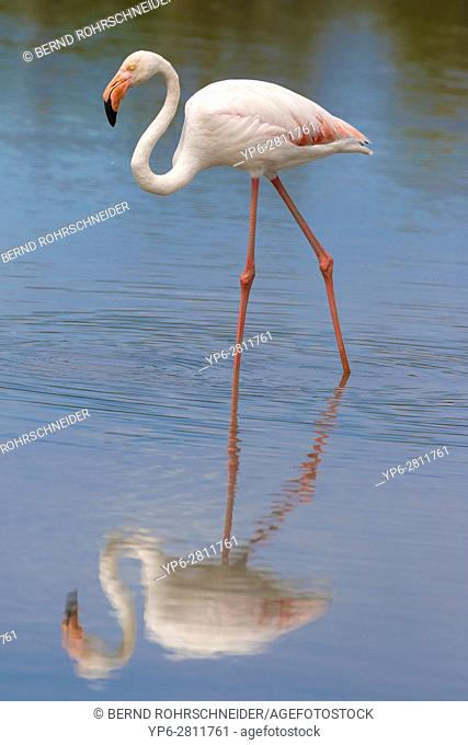 Greater flamingo (Phoenicopterus roseus) walking in water, Camargue, Bouches-du-Rhône, Provence, France