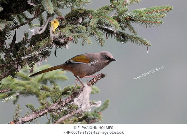 Elliots Laughingthrush Garrulax elliotii adult, perched in conifer tree with scraps of prayer flags, Yeliguan, Southern Gansu Province, China, september