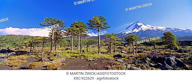 Volcan Llaima 3125m with stand of Monkey Puzzle trees Araucaria araucana   Conguillo National Park, Region La Araucania, Chile
