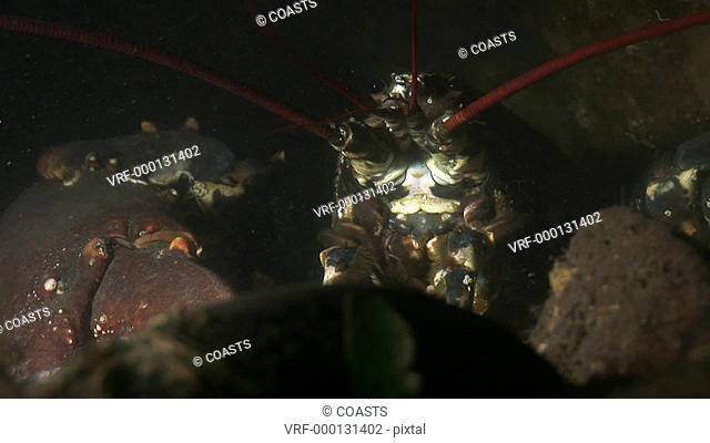 Lobster Homarus gammarus. Arran. Underwater, North Atlantic