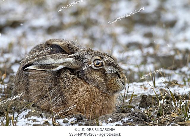 European Brown Hare (Lepus europaeus). Adult on a snowy field. Germany