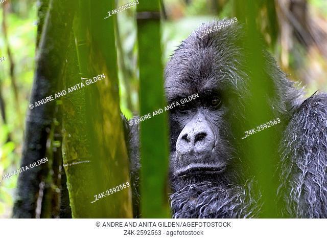 Mountain Gorilla (Gorilla gorilla beringei) large silverback male from the Sabyinyo group, portrait in bamboo forest and rain, Volcanoes national park, Rwanda