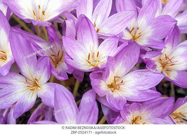 Autumn Crocus, Colchicum autumnale, known as Meadow Saffron or Naked Lady