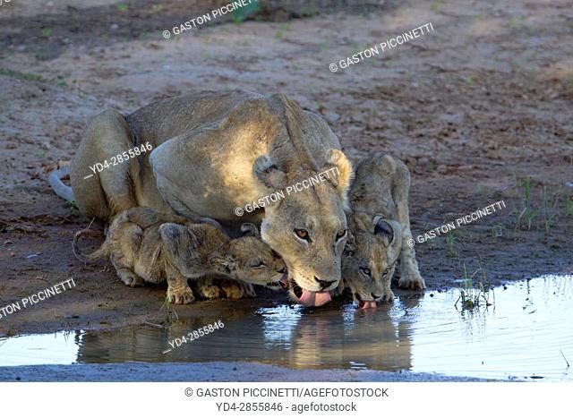 African lion (Panthera leo) - Female and two cubs, in the waterhole, Kgalagadi Transfrontier Park, Kalahari desert, South Africa/Botswana