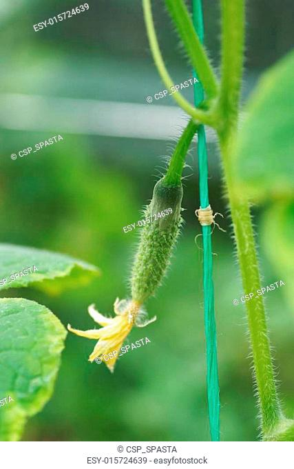 Small cucumber