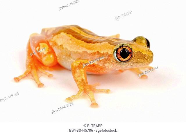 banded banana frog (Afrixalus fulvovittatus), cutout