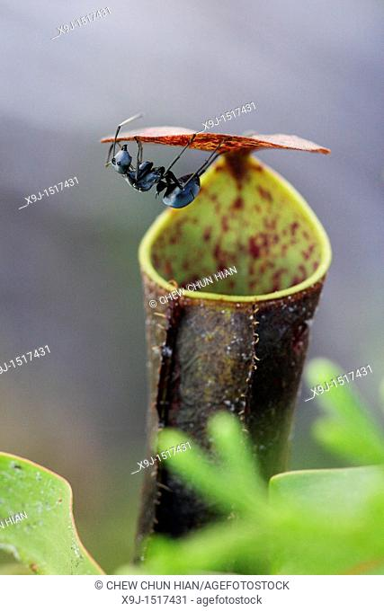 Pitcher plant Nepenthes gracilis and black ant, Sarawak, Borneo