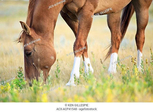 Horse grazing on the Canadian Prairie. Near Swift Current, Saskatchewan, Canada
