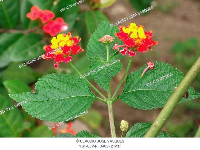 Flowers, Lantana, Verbena, shrub, plant, Botanical garden, City, Rio de Janeiro, Brazil
