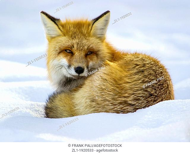 Adult red fox Vulpes vulpes Curls up and goes to sleep after hunting by the roadside at Yellowstone National Park, Mammoth Hot Springs, Wyoming, USA