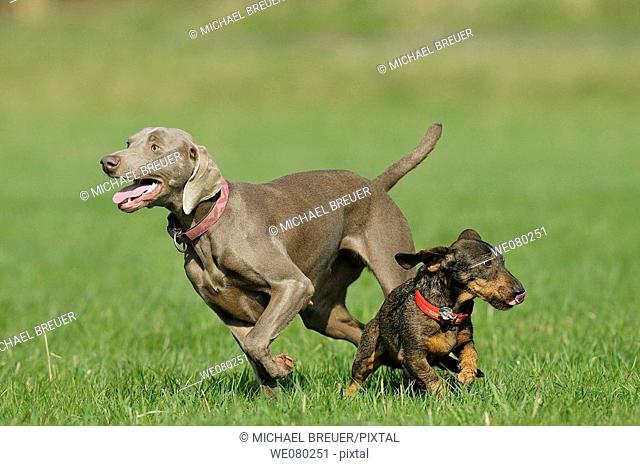 Hounds, Weimaraner and Wire haired dachshund, Germany