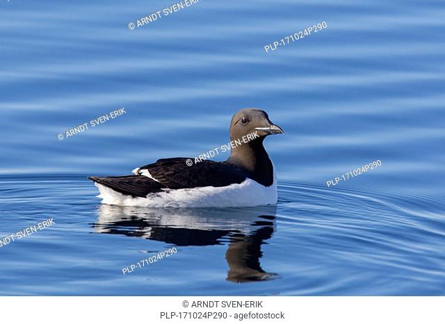 Thick-billed murre / Brünnich's guillemot (Uria lomvia) swimming in sea, native to the sub-polar regions of the Northern Hemisphere, Svalbard, Norway