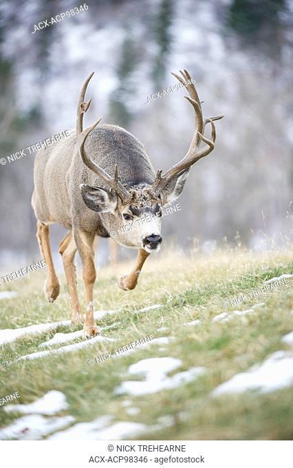 Odocoileus hemionus, mule deer, buck, male, Alberta, Canada, rocky mountains