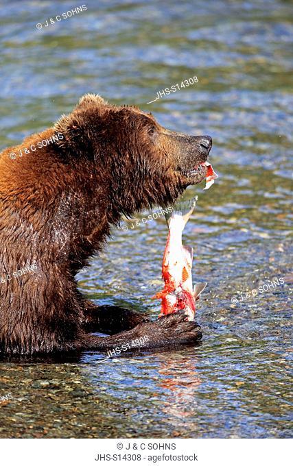 Grizzly Bear, (Ursus arctos horribilis), adult feeding in water, Brookes River, Katmai Nationalpark, Alaska, USA, North America