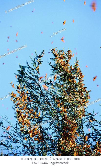 Monarch butterfly (Danaus plexippus). Michoacán, Mexico