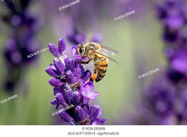 Western Honey Bee or European Honey Bee (Apis mellifera) on Lavender - the bee has pollen in its pollen basket or corbicula