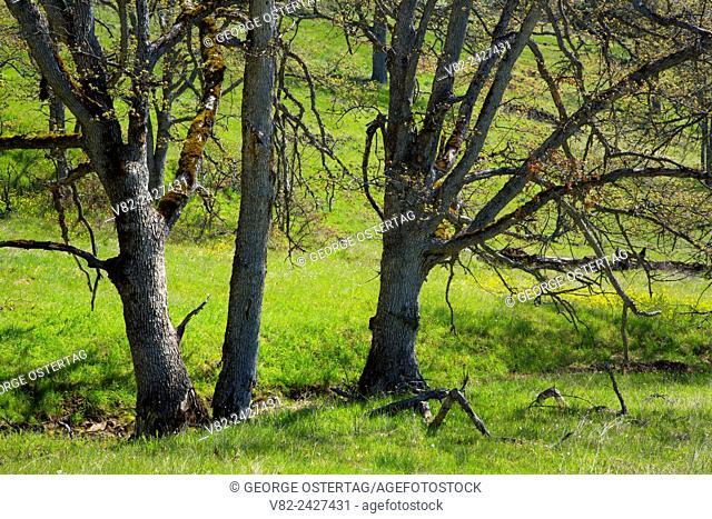 Oregon oak woodland, Catherine Creek Day Use Area, Columbia River Gorge National Scenic Area, Washington
