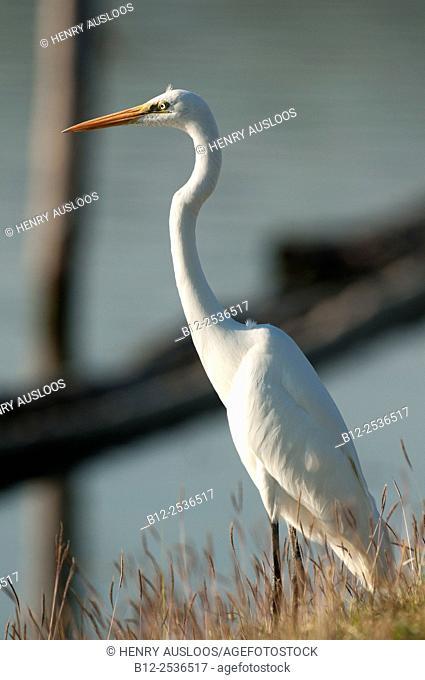 Great egret, Ardea alba, Thailand