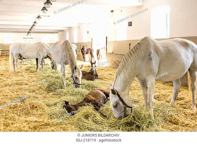 Kladruber. Gray mares with foals in a stable at National stud farm Kladruby nad Labem, Czech Republic