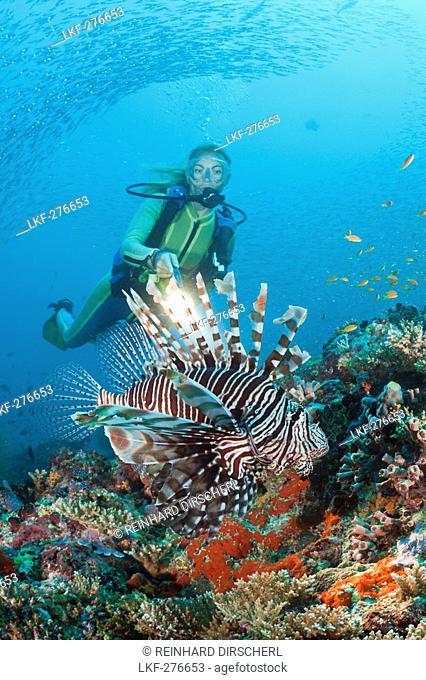 Diver and Lionfish, Pterois miles, Maldives, Maya Thila, North Ari Atoll