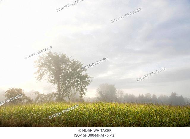 Misty corn field