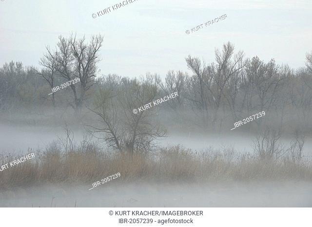Morning fog, Danube wetlands, Donau Auen National Park, Lower Austria, Austria, Europe