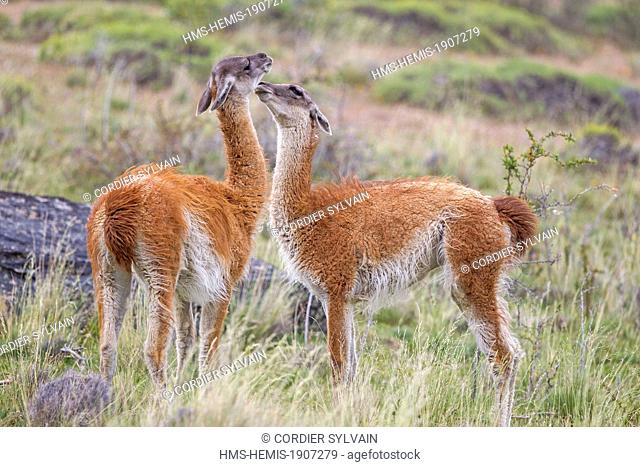 Chile, Patagonia, Magellan Region, Torres del Paine National Park, Guanaco (Lama guanicoe), fighting
