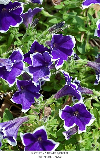 Some white edged purple petunias