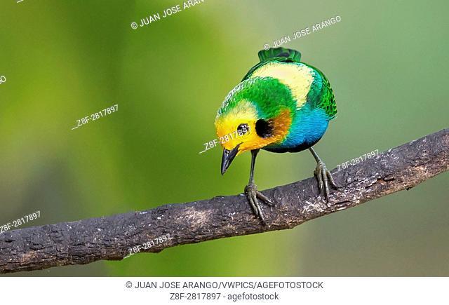 Multicolored Tanager (Chlorochrysa nitidissima) male, Valle del Cauca