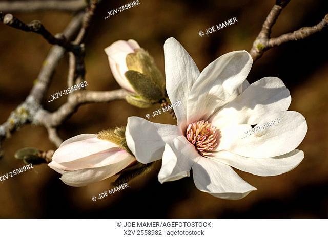 Magnolia salicifolia, also known as Willow-leafed magnolia or Anise Magnolia at the University of Minnesota Landscape Arboretum
