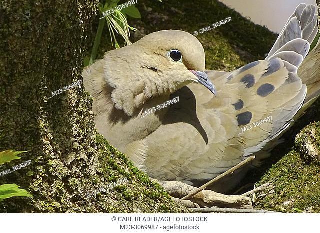 A closeup of a mourning dove, zenaida macroura, on her nest, Pennsylvania, USA