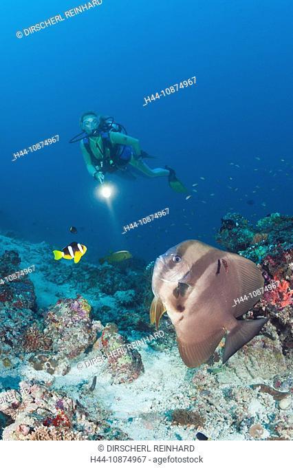 Langflossen-Fledermausfisch und Taucher, Platax teira, Maya Thila, Nord Ari Atoll, Malediven, Longfin Batfish and Diver, Platax teira, Maya Thila