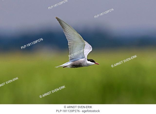 Whiskered tern (Chlidonias hybrida / Chlidonias hybridus) flying over wetland, migratory bird breeding on inland lakes, marshes and rivers in Europe